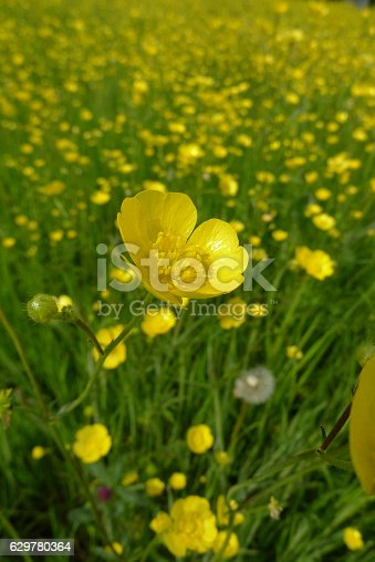 Yellow buttercup flowers in a floweringfield The Netherlands
