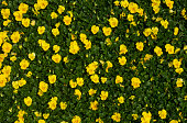 Flowering buttercup in meadow, yellow flowers lit by sunlight - sun rays