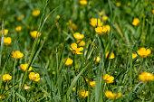 Buttercup (Rananculus muricatus) in a meadow near Pembury, England