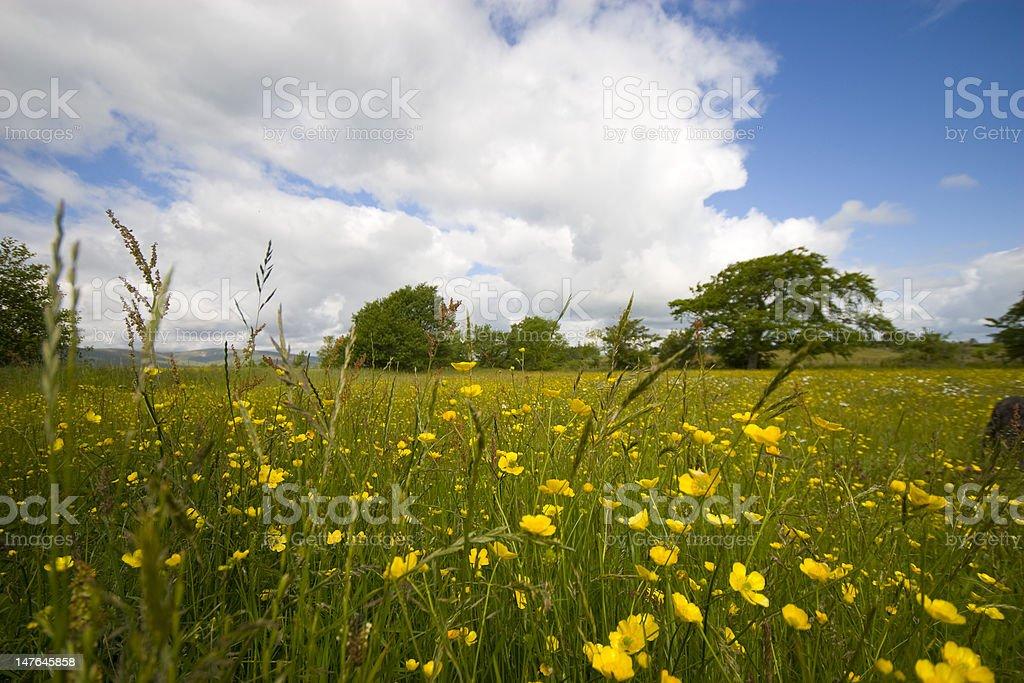 Buttercup Meadow Landscape stock photo