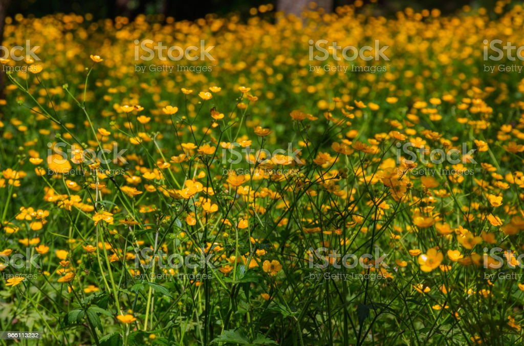 Buttercup meadow - Royalty-free Agricultural Field Stock Photo