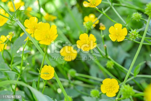 Buttercup meadow. Small wild yellow meadow flowers, shallow depth of field
