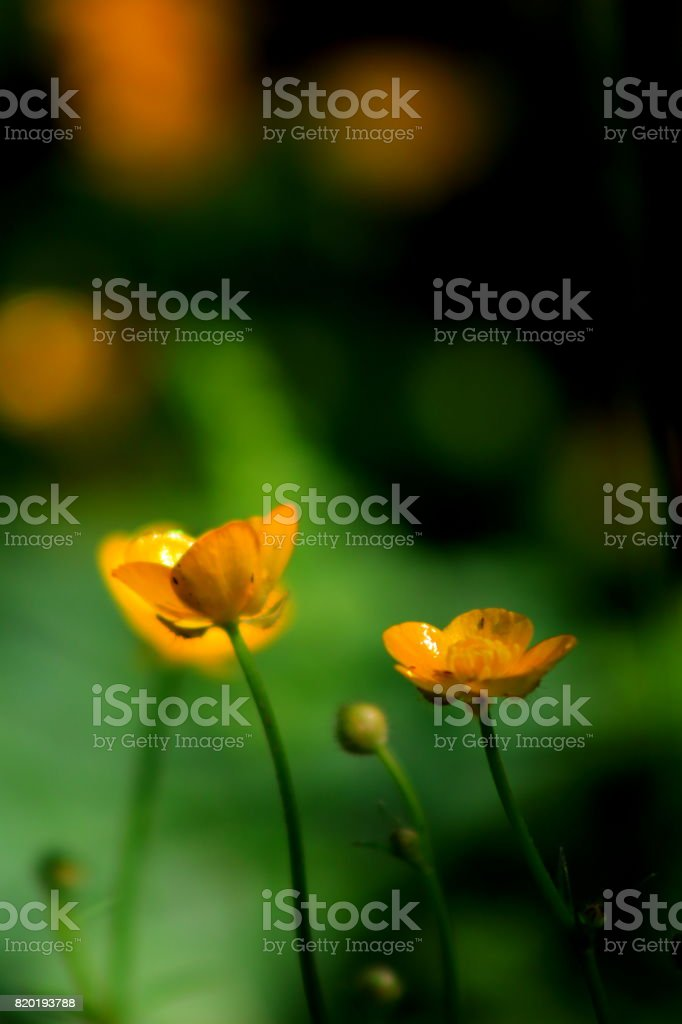 Buttercup with Bee stock photo