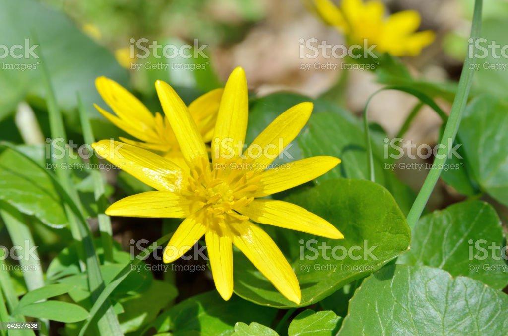 Fiori Gialli Bosco.Fiore Giallo Ranuncolo Fiore In Primavera Nel Bosco Fotografie