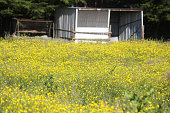 A field of buttercups with a white barn in the background