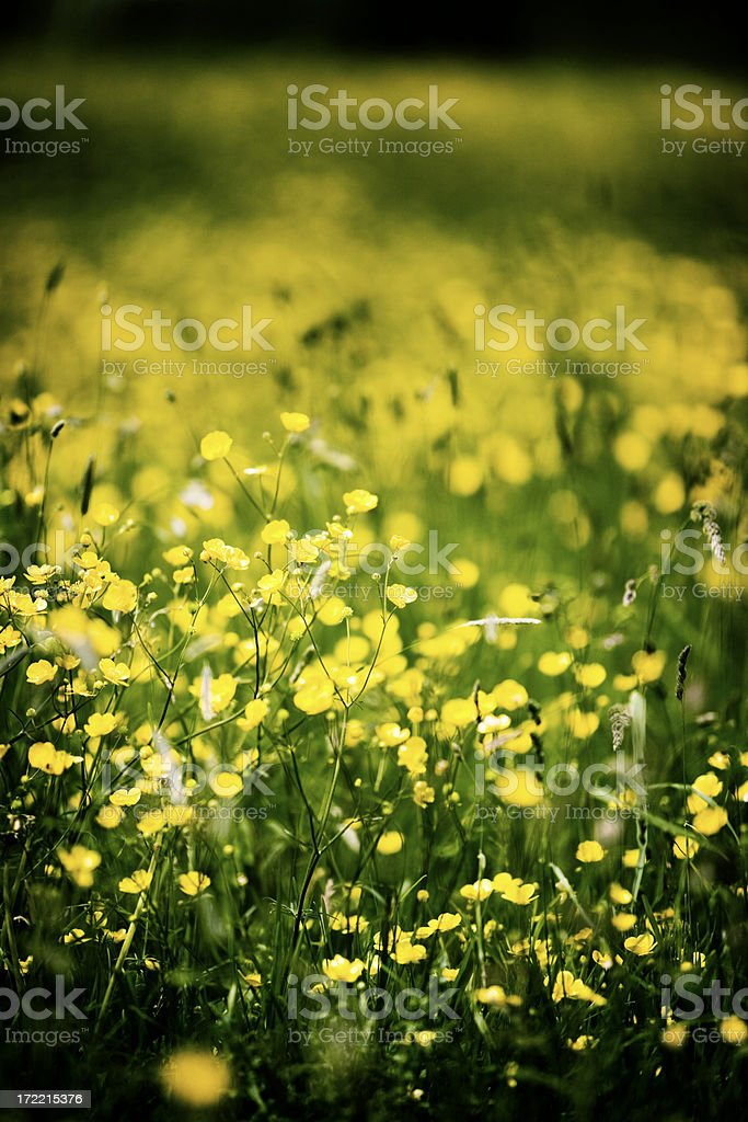 buttercups and primrose royalty-free stock photo