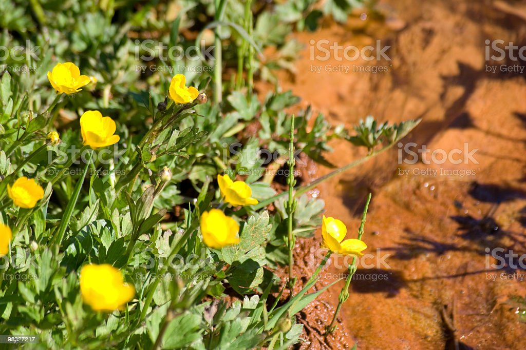 Buttercups by stream royalty-free stock photo
