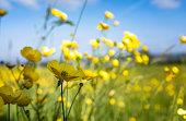 Buttercups In A Meadow
