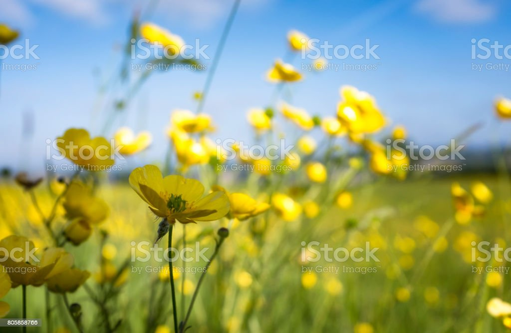 Buttercups In A Meadow stock photo