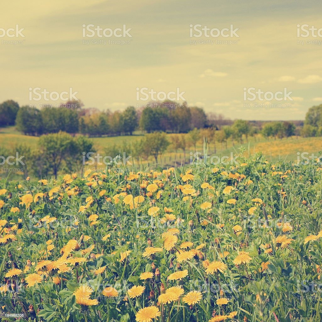 Buttercups in spring stock photo
