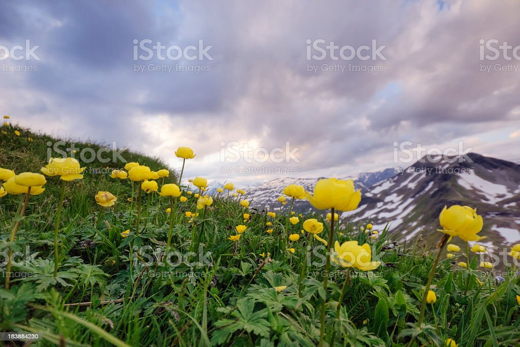 Buttercups in the Alps stock photo
