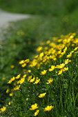 Bright buttercups on the flood plain in springtime.