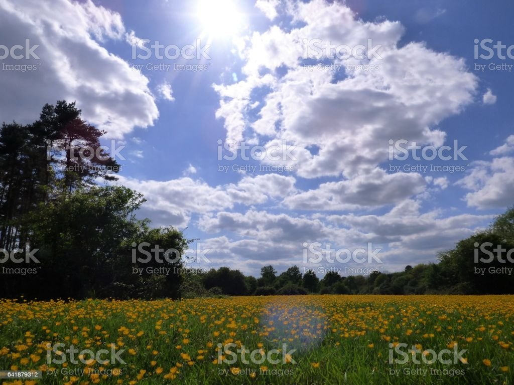 Buttercups of Hatfield Forest stock photo