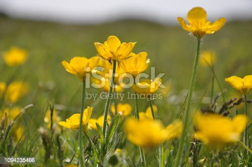 Wild buttercups flowering in summer at Rye Golf Course