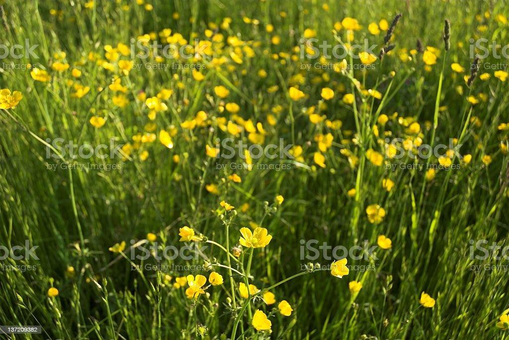 Buttercups stock photo