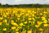 Selective focus of a field of buttercups.