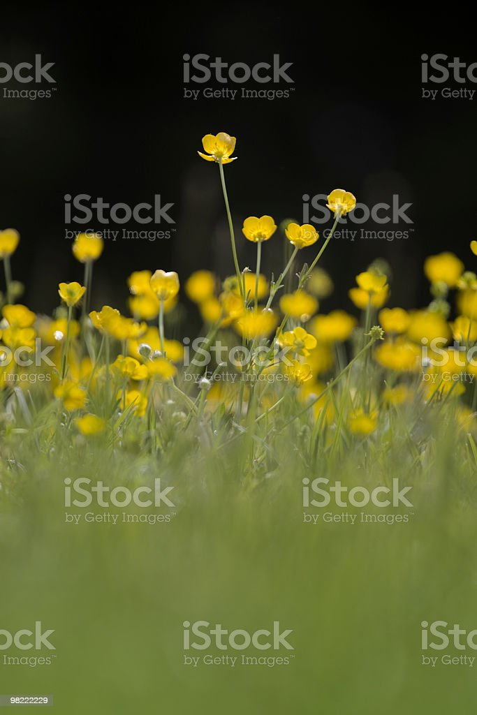 Buttercups royalty-free 스톡 사진