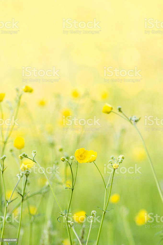 Buttercups royalty-free stock photo