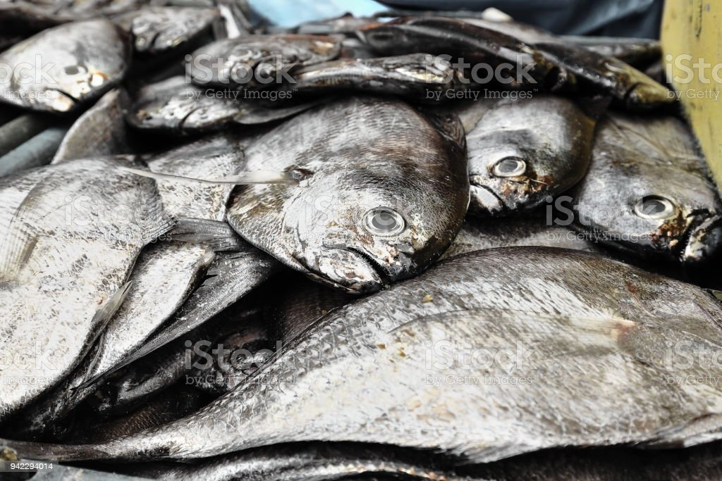 Butterfishes of the pampus genus-fisherman.s hut in the harbor. Sipalay-Philippines. 0378 stock photo