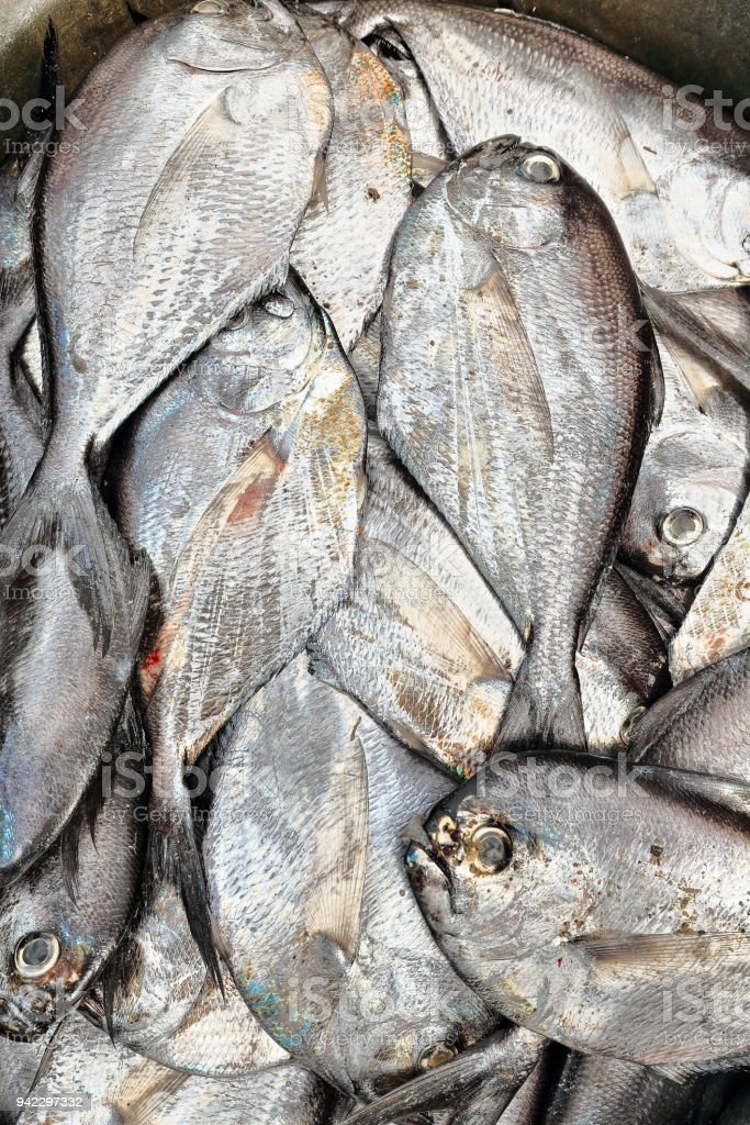 Butterfishes of the pampus genus-fisherman.s hut in the harbor. Sipalay-Philippines. 0379 stock photo