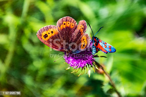 butterflies and pink thistle in Asiago italina alps