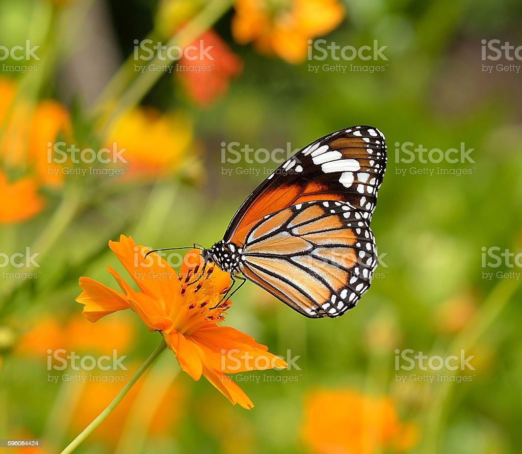 Butterflies and Flowers royalty-free stock photo