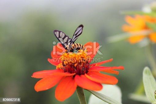 Butterflies are sucking nectar from pollen.