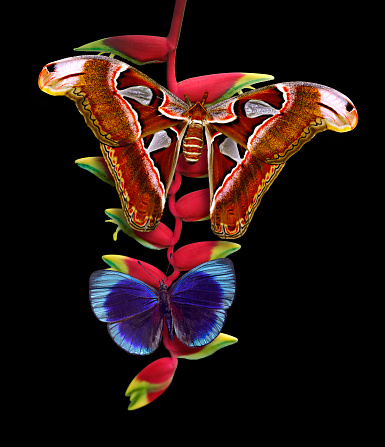 istock Butterflies Atlas and the Blue glory on heliconia flower 1029172828
