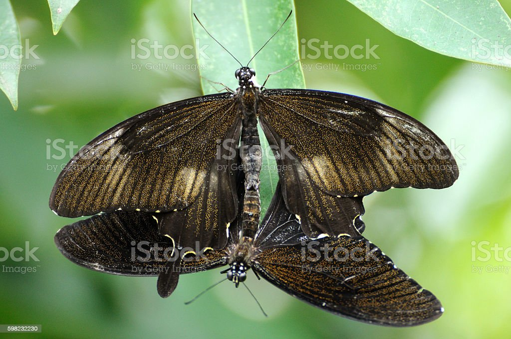 Butterflies be reproductive in park. foto royalty-free