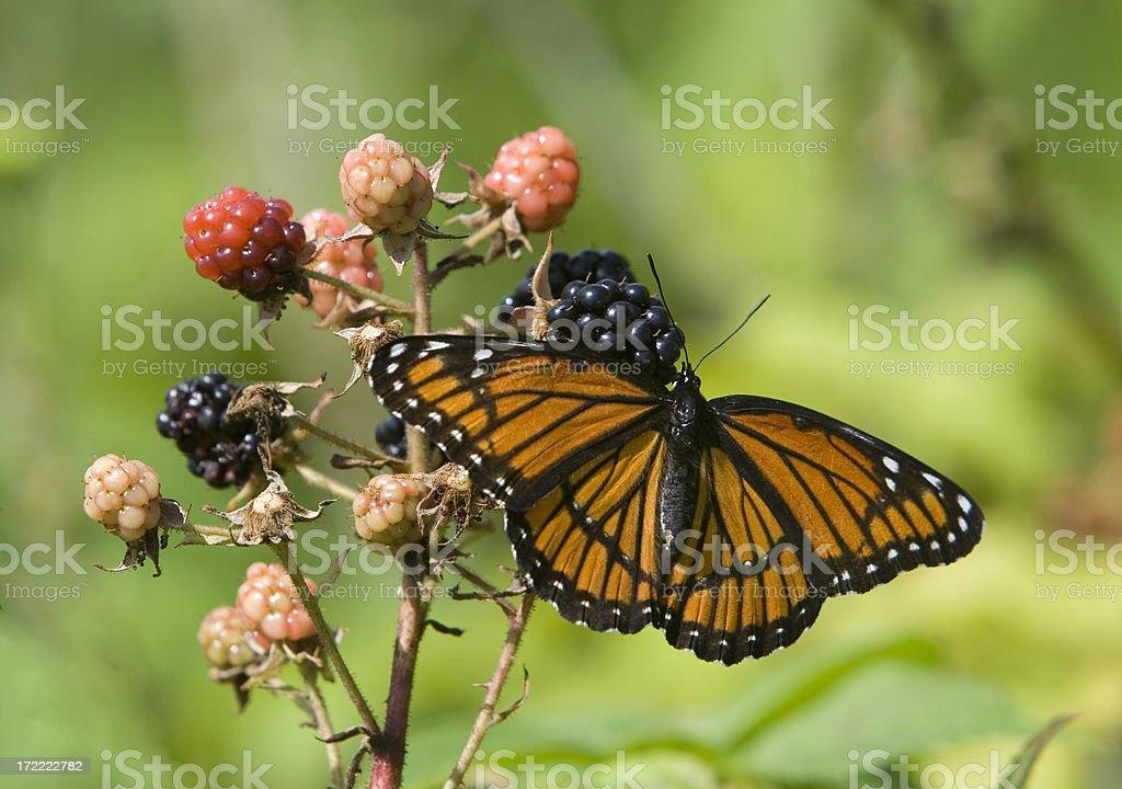 Schmetterlinge & Beeren – Foto