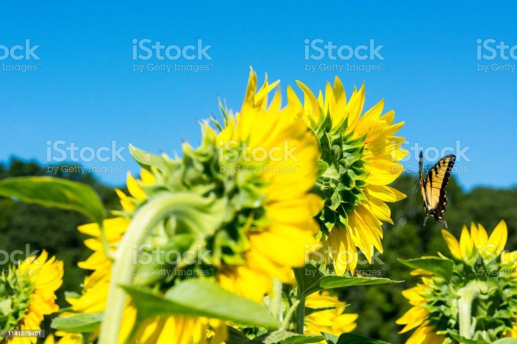 Butterflies enjoy the bright sunflowers stock photo