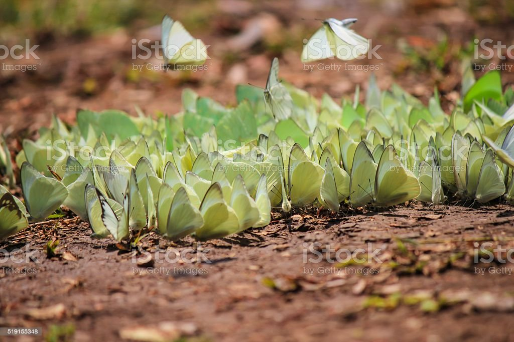 butterflies flock for food stock photo