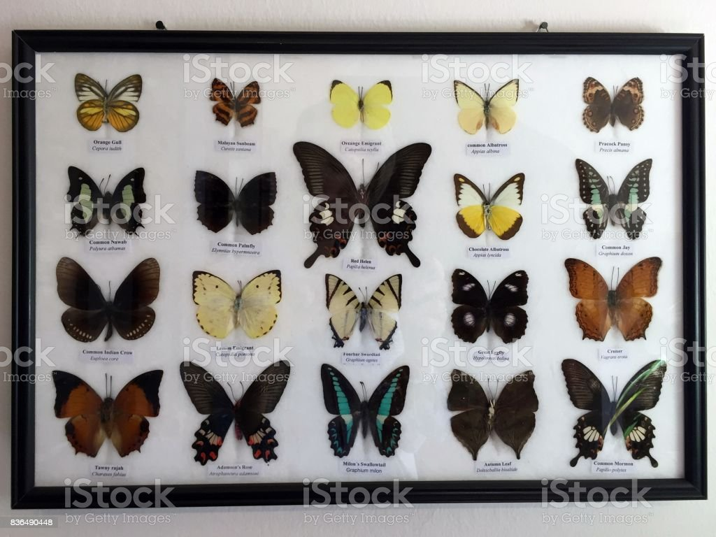 Butterflies framed, collection stock photo