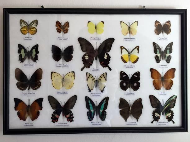Butterflies framed, collection