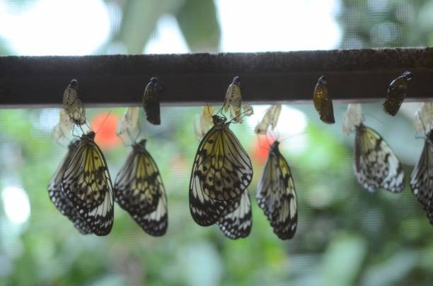Butterflies hang to dry their wings after emerging from their chrysalids at the Cambridge Butterfly Conservatory in 2015. stock photo