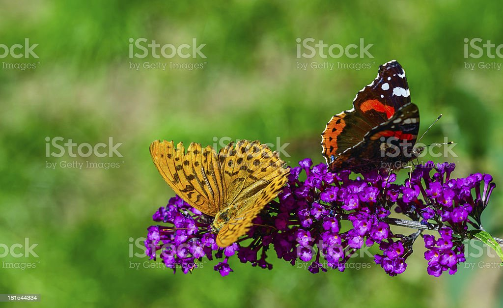 Butterflies ignore each other royalty-free stock photo