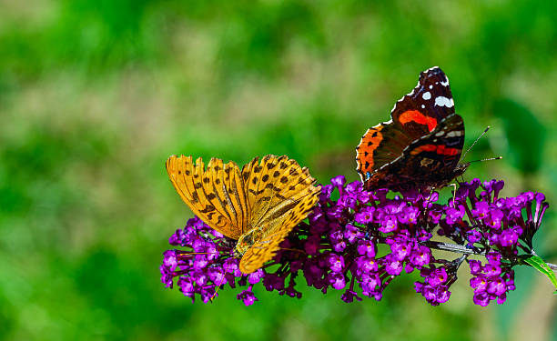 Butterflies ignore each other picture id181544334?b=1&k=6&m=181544334&s=612x612&w=0&h=sn0k7uesmrpe6lgqnt5usaoujwij5so873pilgpeqyu=