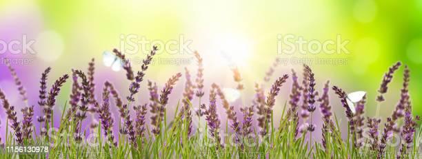 Butterflies in blooming lavender meadow picture id1156130978?b=1&k=6&m=1156130978&s=612x612&h=bt6k33gr9f4nv 0rntaved0wirt5wz20 d7y349ilr4=