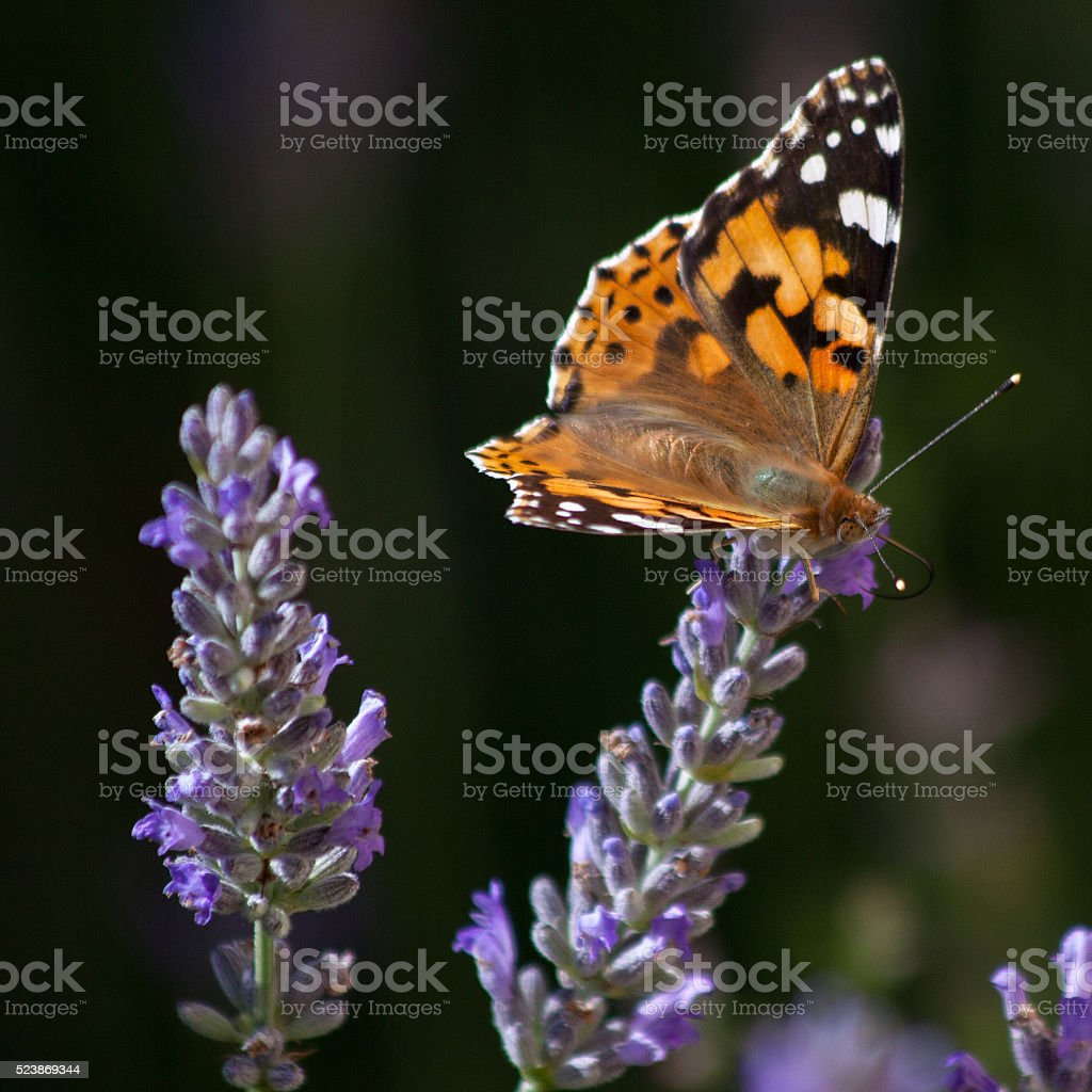 Butterflies in Europe: painted lady on lavender stock photo