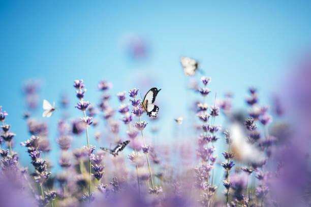 Butterflies in lavender picture id1206919603?b=1&k=6&m=1206919603&s=612x612&w=0&h=a2oavxy8qnrxgzjfqp3pxepaqbx6sipuhviww j1hm8=