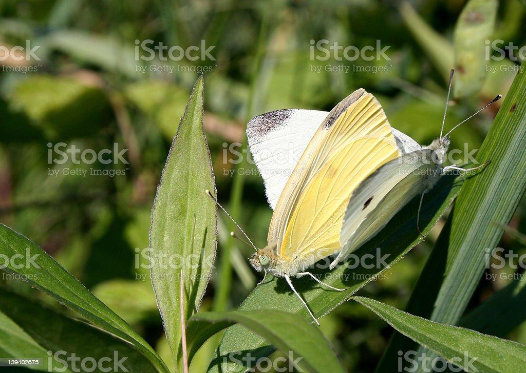Butterflies in Love stock photo