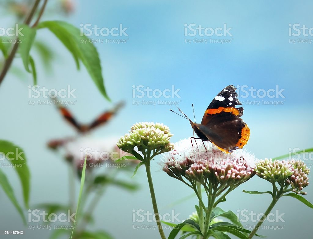 Butterflies in the summer - The Red Admiral Butterfly stock photo