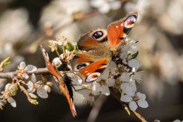 Motyle w białych kwiatach – zdjęcie