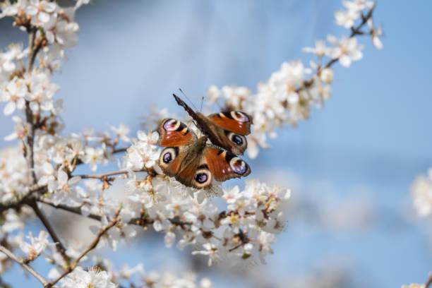 Motyle w białych kwiatach śliwy – zdjęcie