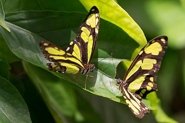 Butterflies love at first flight picture id171105918?b=1&k=6&m=171105918&s=612x612&w=0&h=hcjecgtrgiaormga ibnoiu8mshnnlv3cccsyo 0rxa=
