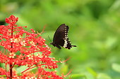 Papilio polytes, the common Mormon, is a common species of swallowtail butterfly widely distributed across Asia. This butterfly is known for the mimicry displayed by the numerous forms of its females which mimic inedible red-bodied swallowtails, such as the common rose and the crimson rose.