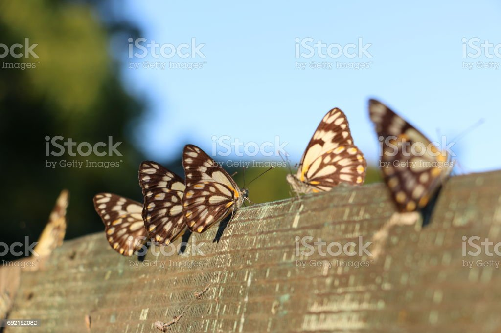Butterflies on a fence in afternoon light stock photo