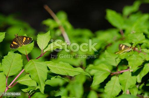 Butterflies on a hummingbird fuchsia Fuchsia magellanica. Conguillio National Park. Araucania Region. Chile.