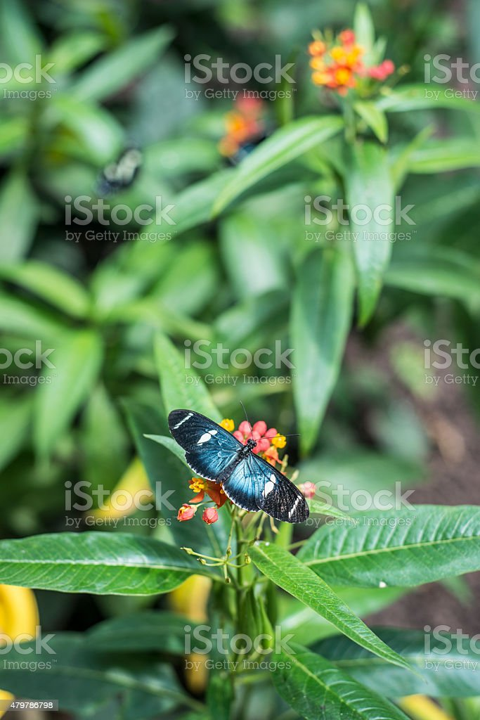 Butterflies on exotic tropical flower, Ecuador stock photo
