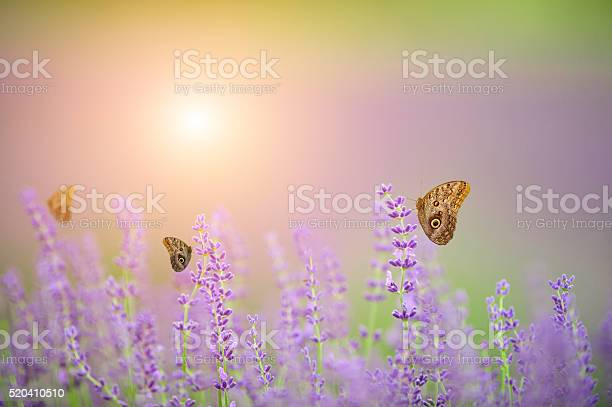Butterflies on lavender field picture id520410510?b=1&k=6&m=520410510&s=612x612&h=i0q81iy0z fi08y1crsdqtjs6sg8nzywy1 qdwycqic=